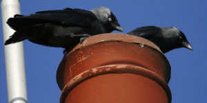 jackdaws,chimney,bird nest,sweeps